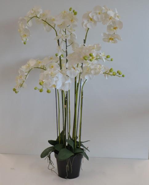 Orchidee mit 9 Trieben im Topf,