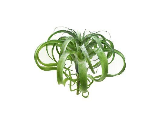 Tillandsia Pick 30cm, grün, 1 Stück