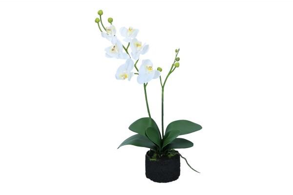 Orchidee mit Erde Höhe 50cm, 1 Stück