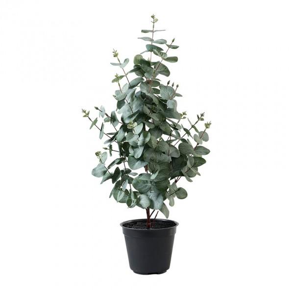 Eucalypthusbaum im Topf H65cm, VE = 1 (#181307000)