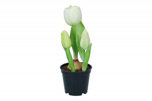 Tulpe in Plastiktopf, 21cm, 1 Topf