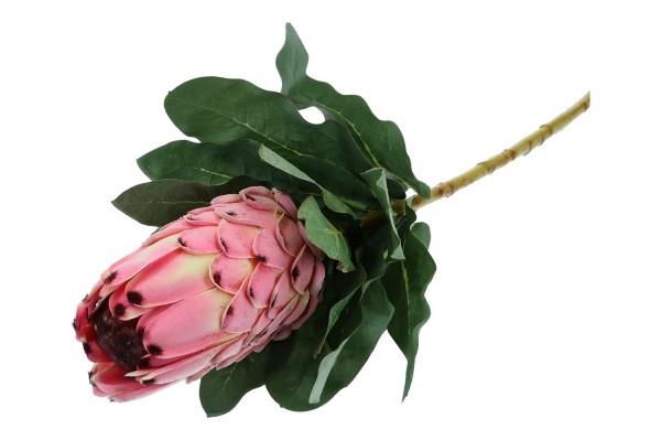 Protea Länge 74cm, 1 Stück
